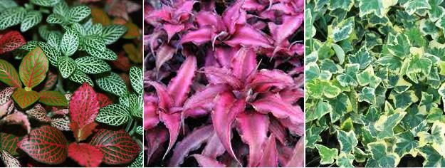Растения для флорариумы (плющ, криптантус, фиттония)