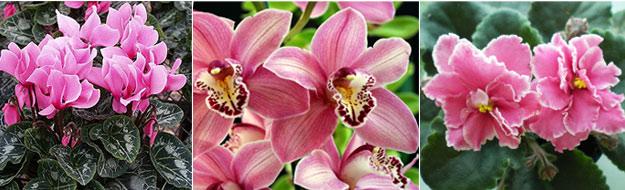 Растения, подходящие для флорариумы: цикламены, орхидеи, сенполии